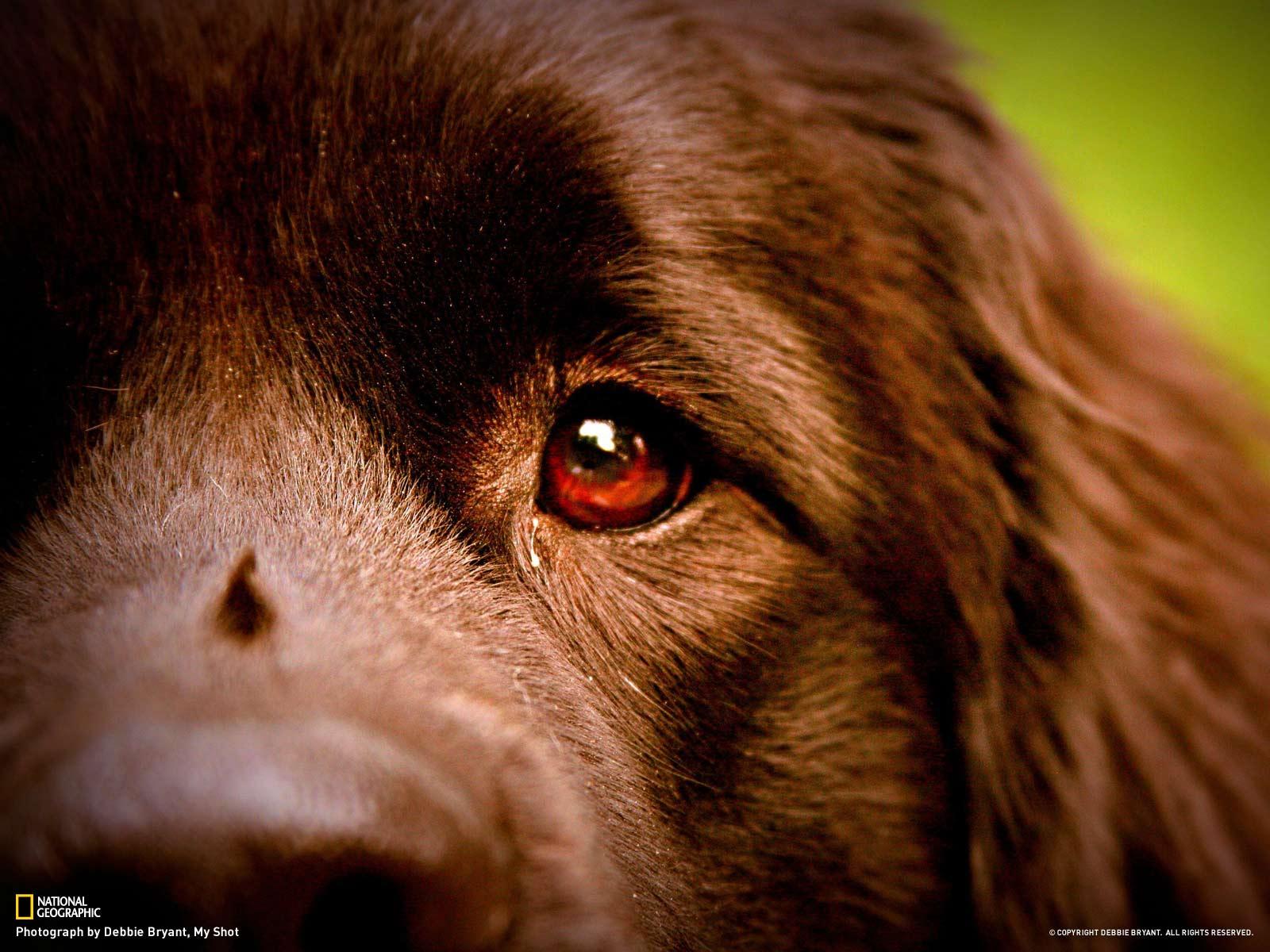 обои для рабоч стола ньюфаундленд собаки № 583915 бесплатно