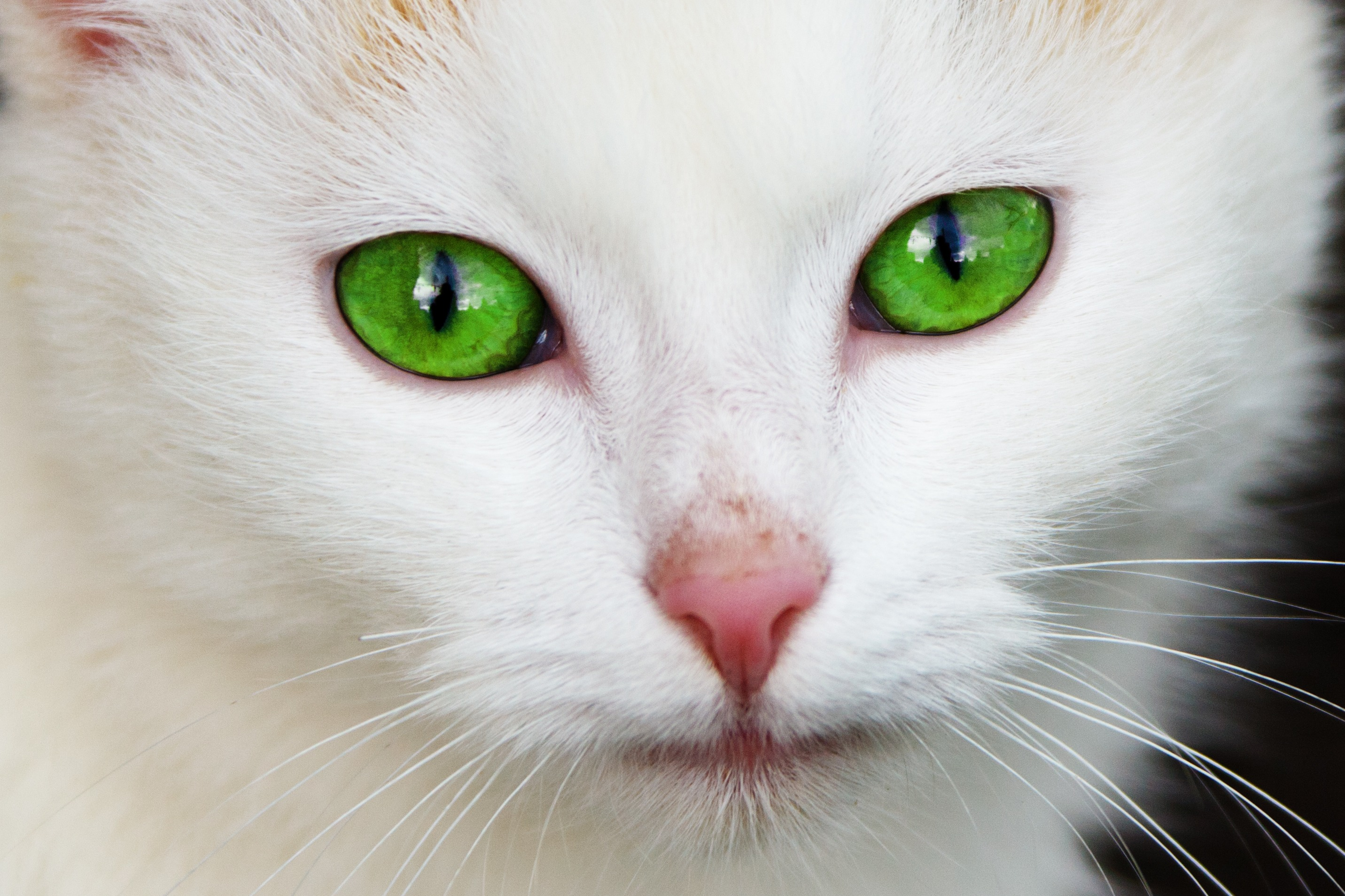 Eye Problems In Kittens  Petcha