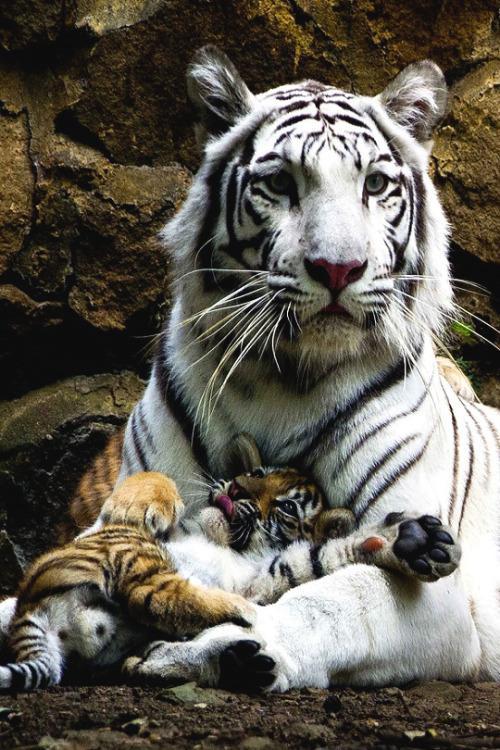 Tiger400.jpg