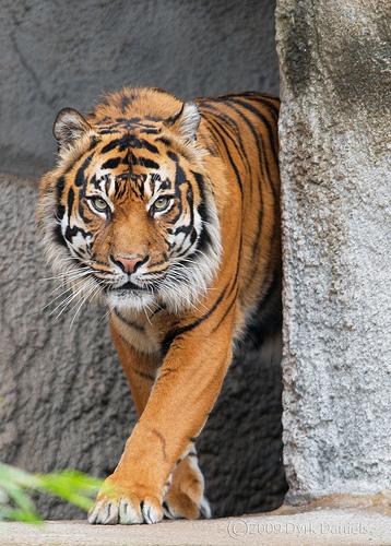 Tiger401.jpg