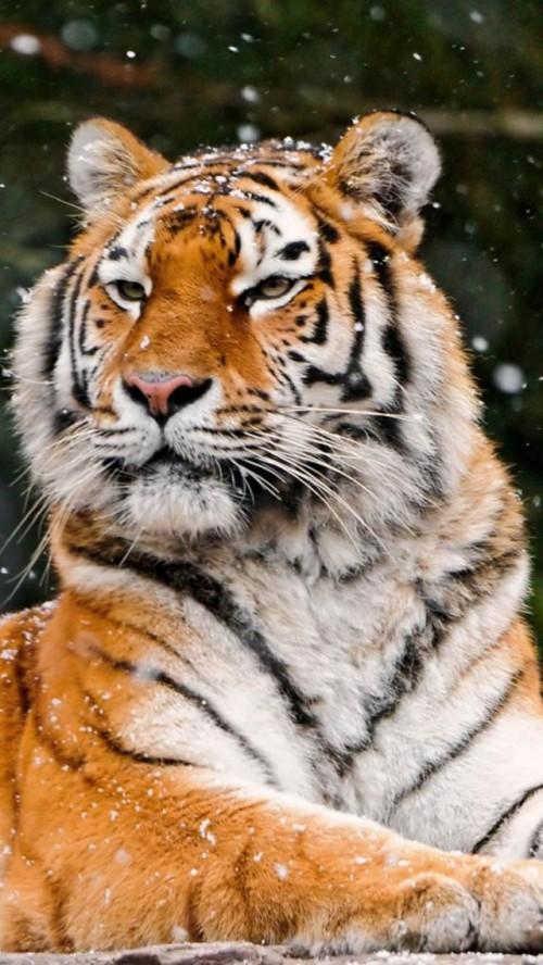 Tiger402.jpg