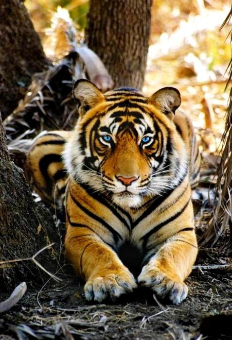 Tiger403.jpg