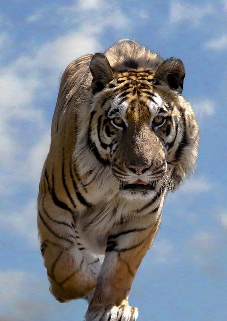 Tiger404.jpg