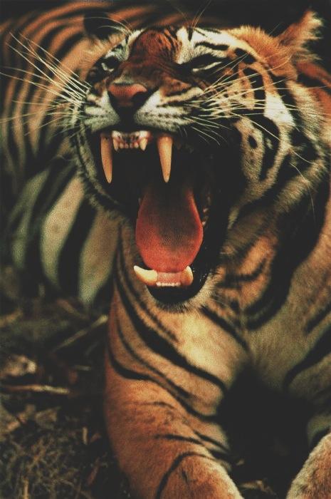 Tiger406.jpg