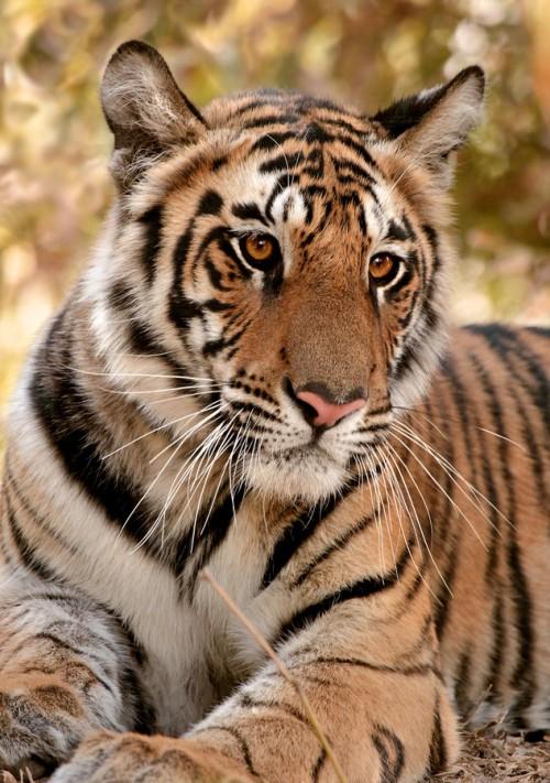 Tiger408.jpg