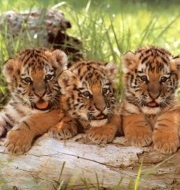 Tiger411.jpg