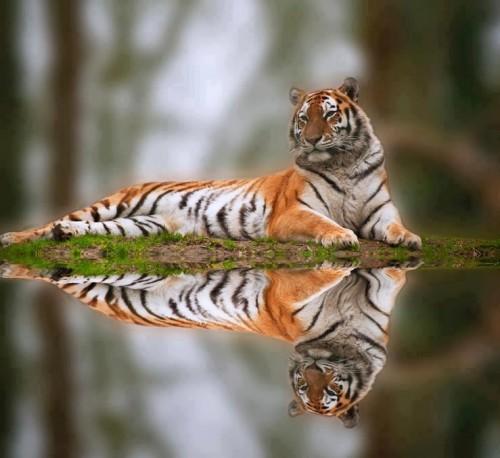 Tiger412.jpg