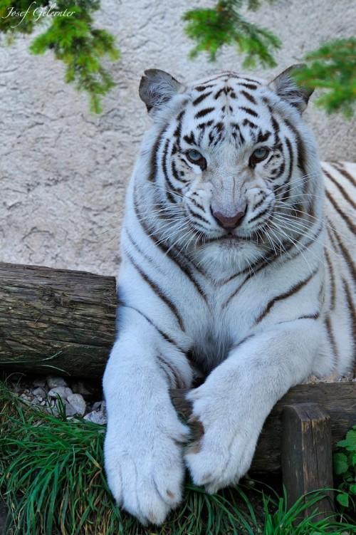 Tiger413.jpg