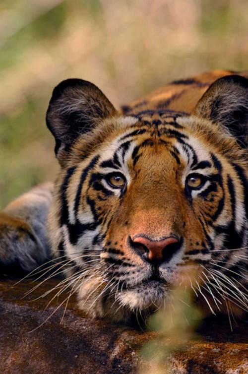 Tiger414.jpg