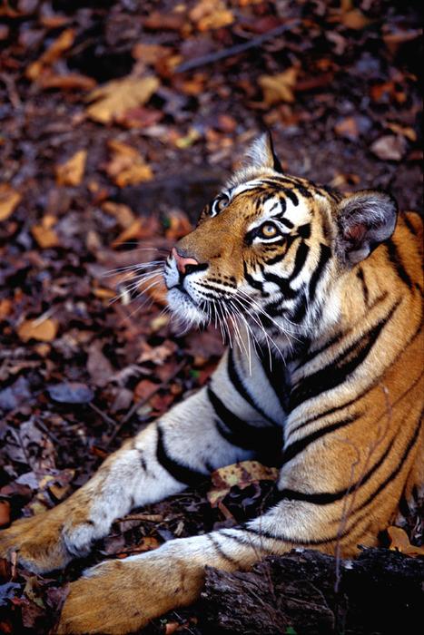 Tiger418.jpg