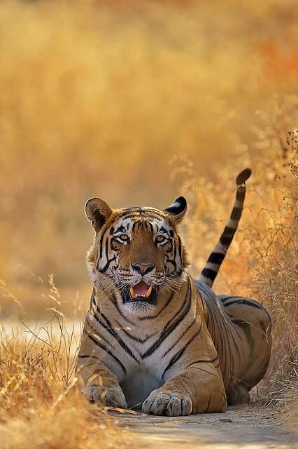Tiger419.jpg
