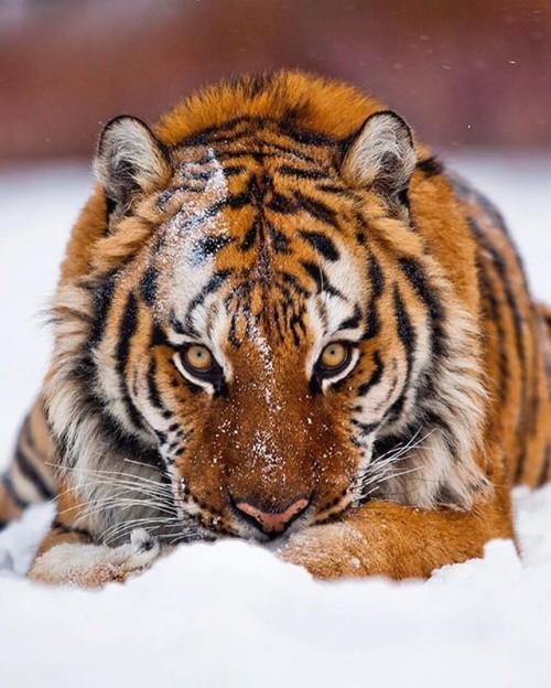 Tiger420.jpg