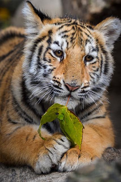 Tiger421.jpg