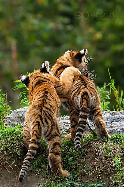 Tiger422.jpg