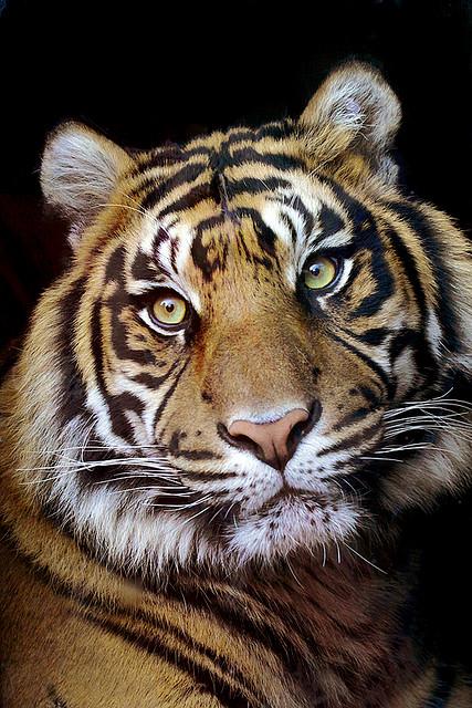Tiger423.jpg