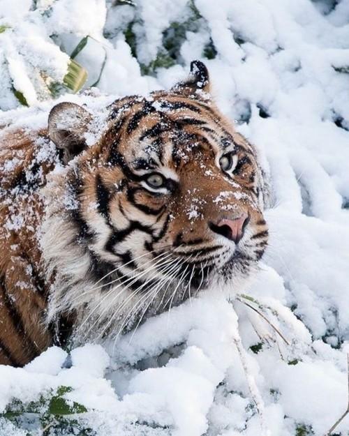 Tiger424.jpg