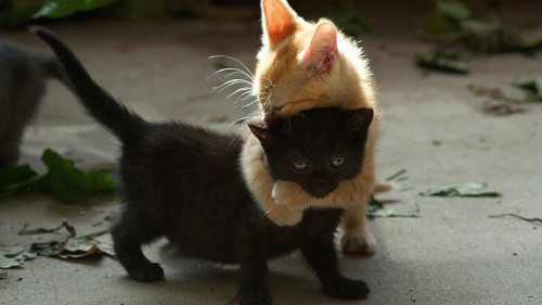 kittens_couple_playful_black_red_96705_1920x1080.jpg