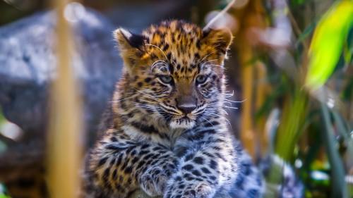 leopard_baby_look_predator_102804_1920x1080.jpg