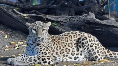 leopard_big_cat_predator_spotted_96244_1920x1080.jpg