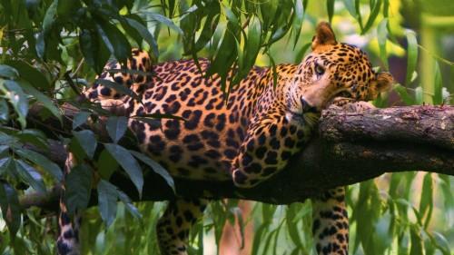 leopard_branches_trees_lie_down_predator_72127_1920x1080.jpg