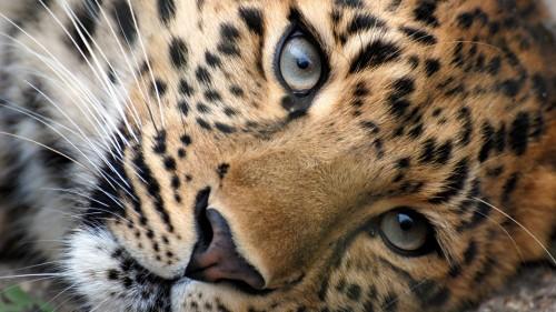leopard_face_eyes_big_cat_93235_1920x1080.jpg