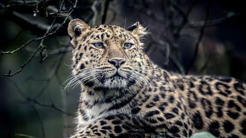 leopard_look_sadness_predator_muzzle_85867_1920x1080.jpg