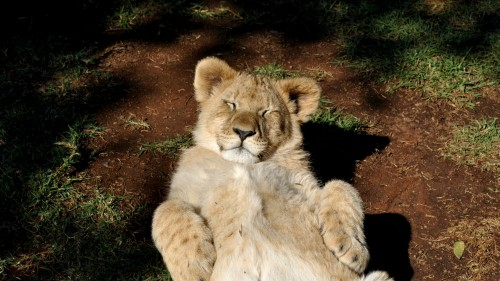 lion_cub_predator_rest_95152_1920x1080.jpg