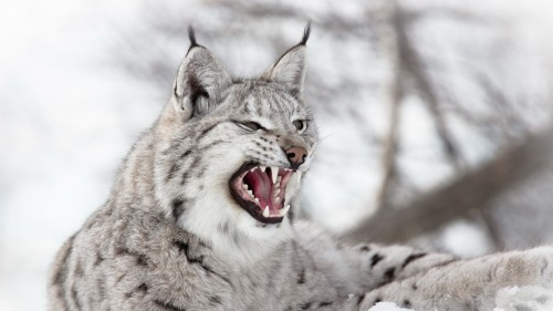 lynx_predator_snow_aggression_96987_1920x1080.jpg
