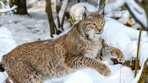 lynx_wolf_jump_snow_winter_85935_1920x1080.jpg