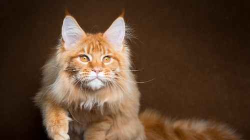 maine_coon_cat_red_muzzle_100312_1920x1080.jpg