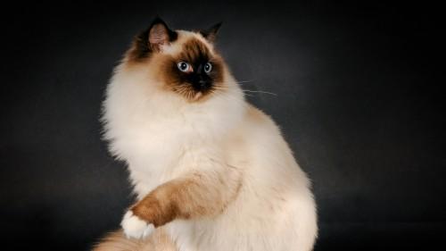 ragdoll_cat_breed_color_fluffy_96074_1920x1080.jpg