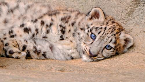 snow_leopard_cub_lie_look_sadness_85941_1920x1080.jpg