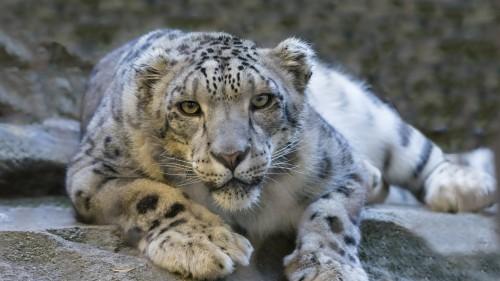 snow_leopard_eyes_predator_big_cat_106292_1920x1080.jpg