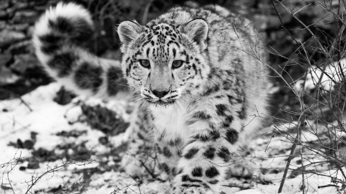 snow_leopard_snow_hunting_attention_black_and_white_57947_1920x1080.jpg