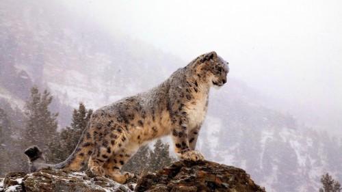 snow_leopard_top_big_cat_predator_51278_1920x1080.jpg