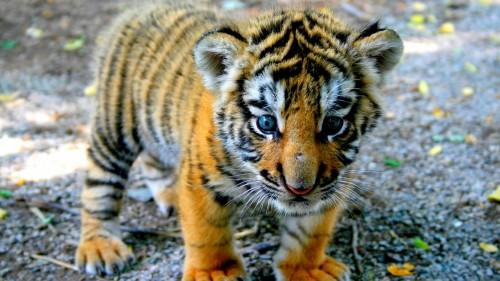 tiger_cub_look_kid_91615_1920x1080.jpg