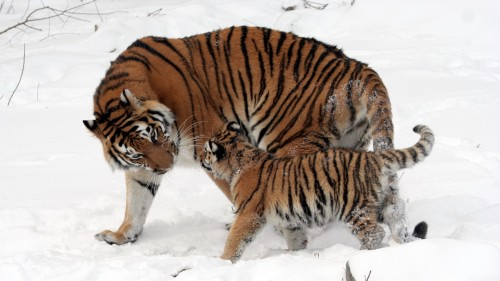 tiger_cub_snow_walk_care_91743_1920x1080.jpg