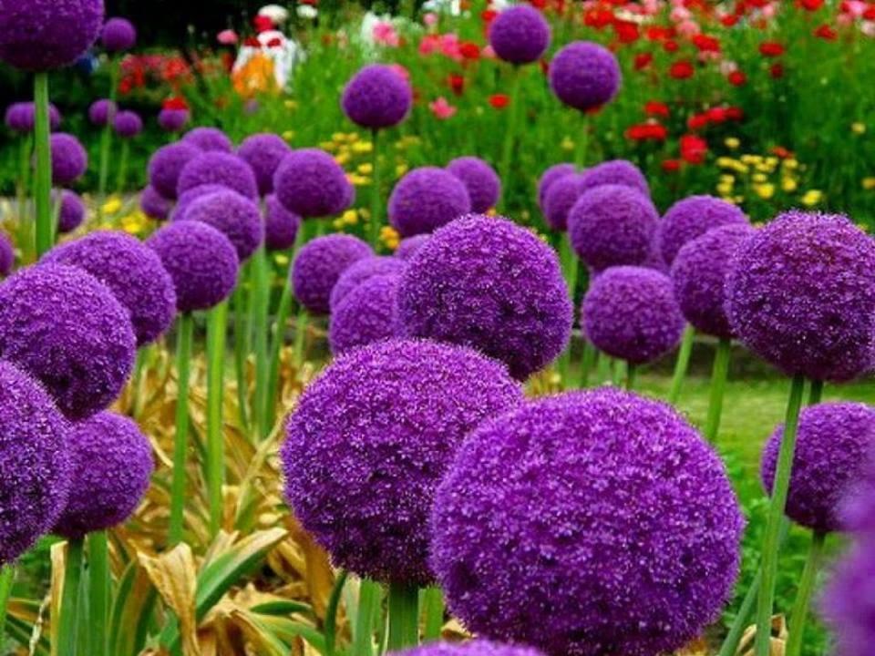 Лук декоративный, Аллиум. Allium. Фото, посадка, уход ...