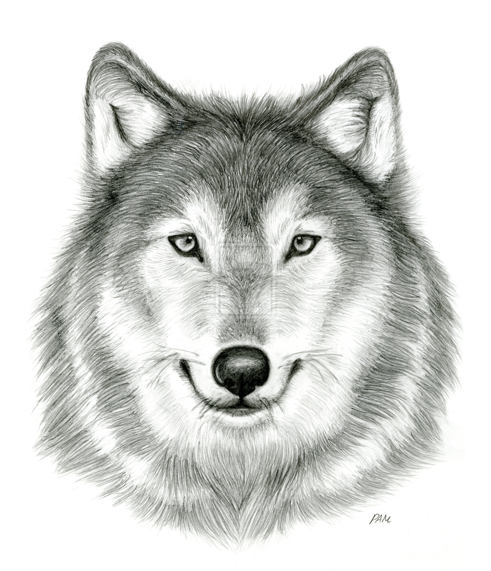 Gray Wolf Face Drawing How