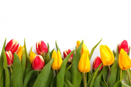 -absolutely_free_photos-original_photos-tulips-isolated-5407x3605_13638.md.jpg