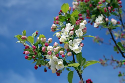 apple-blossom-173566_1920.md.jpg