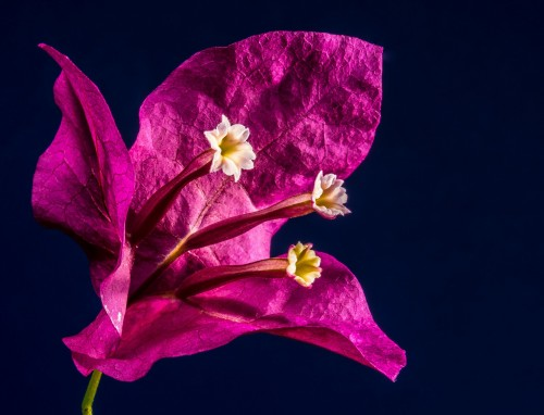 bougainvillea-217294_1920.md.jpg