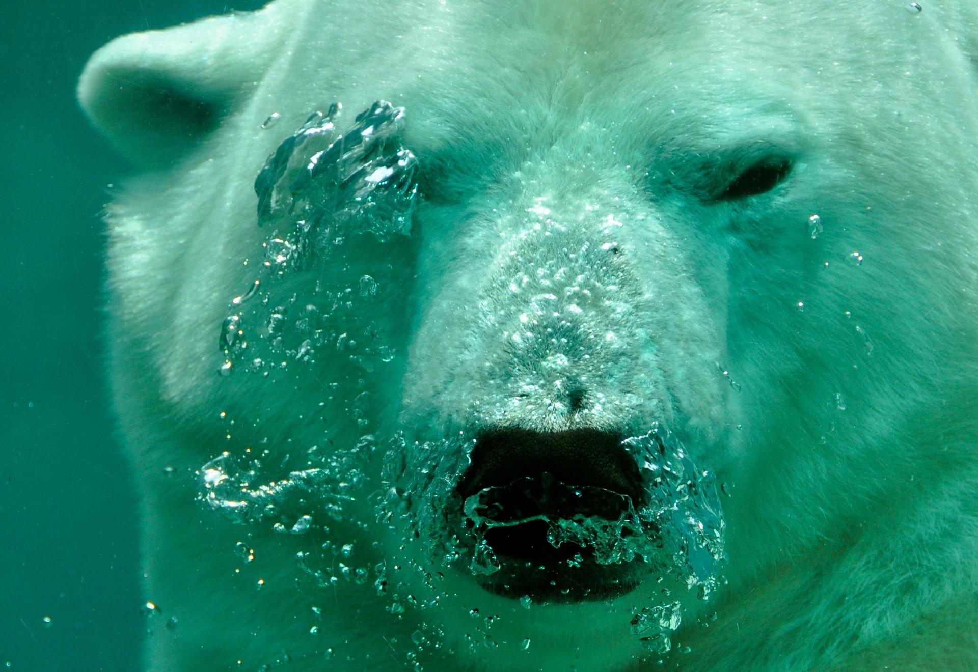 polar-bear-484515_1920.jpg
