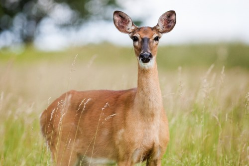 roe-deer-1367182_1920.md.jpg