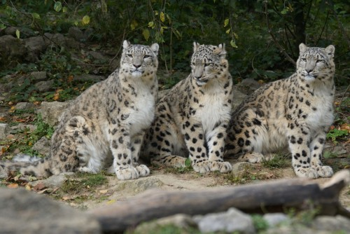 snow-leopards-967332_1920.md.jpg