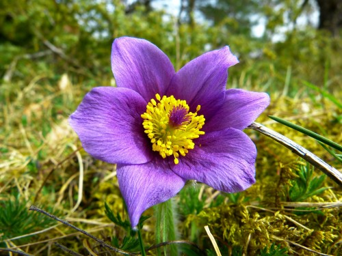 pasque-flower-323193_1920.md.jpg