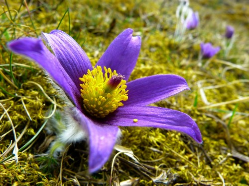 pasque-flower-323247_1920.md.jpg