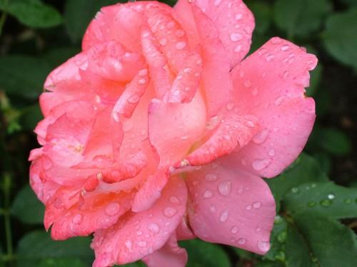 rose-168457_1920.md.jpg