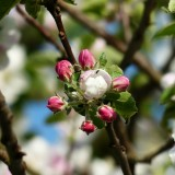 apple-blossom-116391_1920.th.jpg