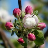 apple-blossom-116394_1920.th.jpg
